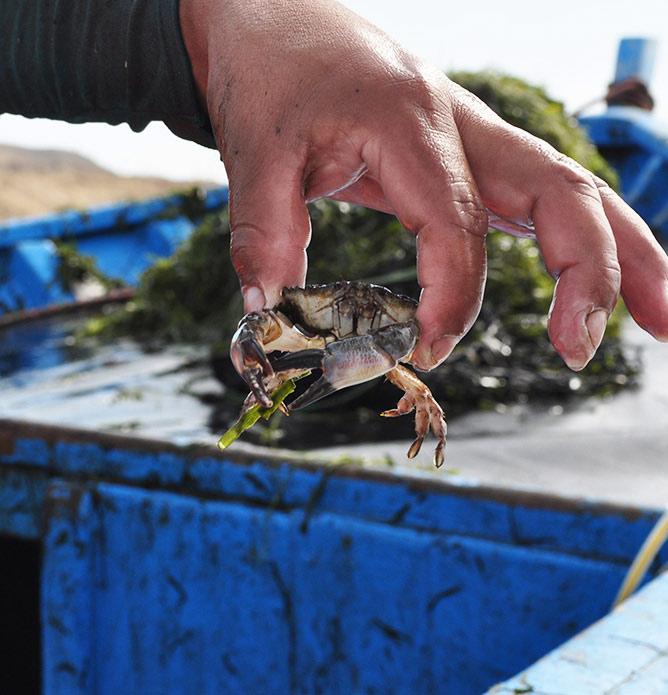 maricultura-cangrejo-bote-intimar