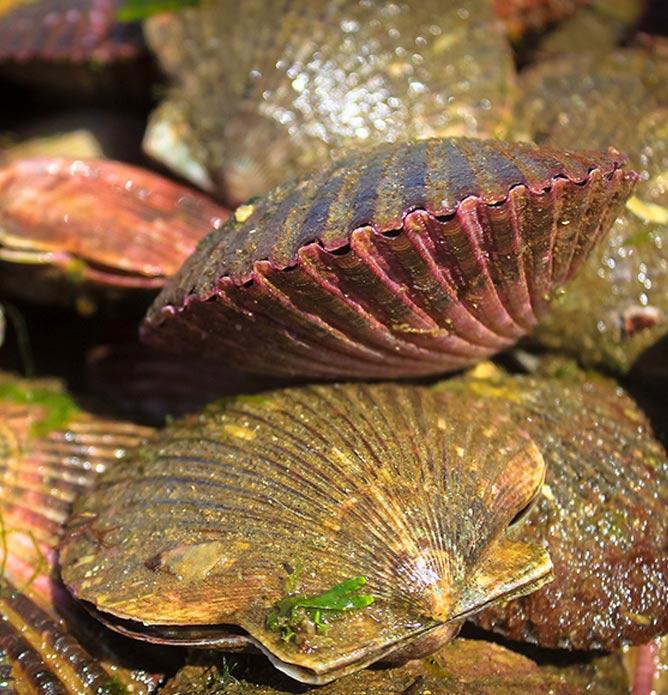maricultura-conchas-de-abanico-vivas-intimar