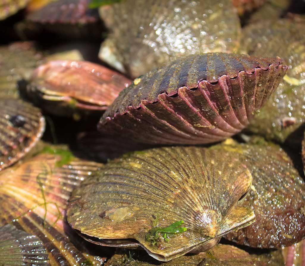 conchas-de-abanico-paracas-peru-ica